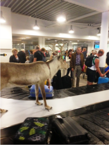 A new addition to the baggage claim area in Umeå; the university's crest features three reindeer