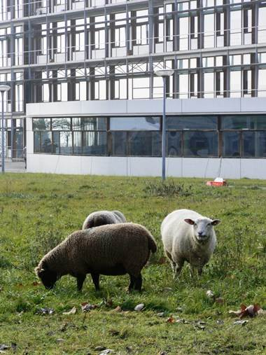 Sheep may safely graze . . . on the Unil campus